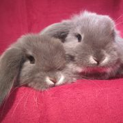 sexage-lapin